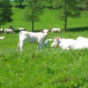 Uebernachten im Schloss-weisse Charolais Rinder