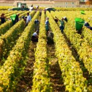 Bordeaux Weinlese